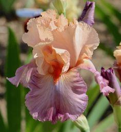 TB Iris germanica 'Queen for a Day' (Filardi, 2012)