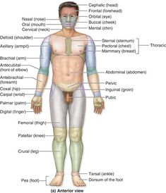 Anatomical Terms for regions of the body, anterior view Nursing Tips, Nursing Notes, Human Anatomy And Physiology, Medical Anatomy, Medical Coding, Medical Terminology, Body Systems, Nurse Life, Medical School