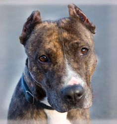 Meet Rita Mae, an adoptable Pit Bull Terrier looking for a forever home. If you're looking for a new pet to adopt or want information on how to get involved with adoptable pets, Petfinder.com is a great resource.