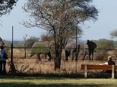 Satara - Visitors viewing elephants from the safety of the fenced campsite. Viewing Wildlife, Kruger National Park, African Animals, My Land, Cool Places To Visit, Wonderful Places, Elephants, South Africa, The Good Place