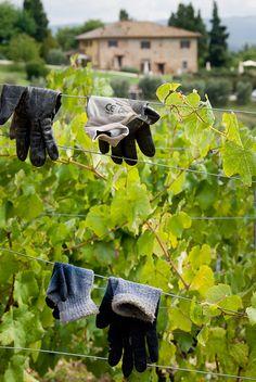 Grape harvesting, San Gimignano, Tuscany, Italy by janinejoles