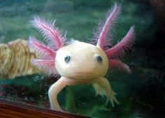Unusual Pink Saltwater Fish   Fish Hedgehog, The Spiky Mammal Urchin How To Setup a Saltwater Fish ... Psst...This is actually, an Axolotl
