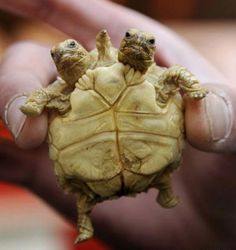 OMG a 2 headed turtle....double the love
