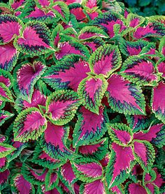 "Coleus - Variety called Watermelon. An annual that likes full sun. However, by experience, in some locations it can only tolerate partial sun. Height: 24"" Spread: 20"""