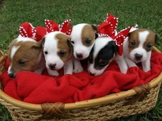 Pictures of #Jack #Russell #Puppies