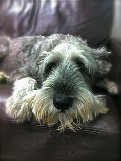 "Original pinner says, ""My beautiful Standard Schnauzer HENRY, 13 years we had the pleasure of his company. Standard Schnauzer, Mini Schnauzer, Miniature Schnauzer, Love Pet, Puppy Love, All Dogs, Best Dogs, Rainbow Bridge, Animal Pictures"