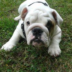 Oliver :) english bulldog puppy