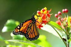 Monarch or Milkweed - Danaus plexipus - Mariposa Monarca ...