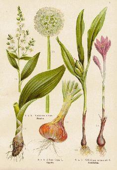 Risultati immagini per basilico stampe botaniche