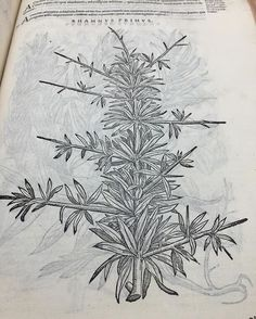This woodcut of rhamnus or buckthorn comes from our 1565 copy of Mattioli commentaries on the Materia Medica of Diascorides. This gorgeous book filled with botanical woodcuts will be on display *tonight* from 4-7 as part of Science Literacy week. Please drop in to see this and other wonderful items from our collection. Petri Andreae Matthioli ... Commentarii in sex libros Pedaci Discoridis Anazarbel De medica materia..by Pietro Andrea Mattioli. Venetiis: Ex officina Valgrisiana, 1565…