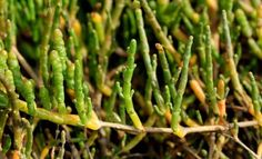 Sarcocornia perennis é a matéria prima para o primeiro sal de origem vegetal do Brasil