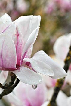 magnolia000