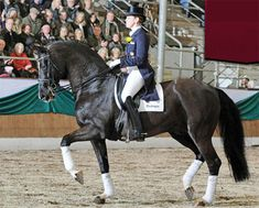 De Niro- Grand Prix son of Donnerhall, DN is an extremely popular sire in Germany due to his outstanding movements, extremely high rideability and beautiful type.