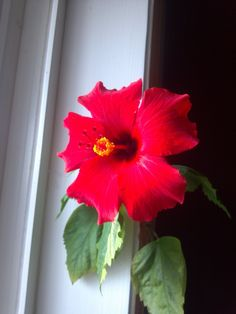 A beautiful bloom from my hibiscus tree.love this flower! Hibiscus Tree, Annual Flowers, Bloom, Passion, Plants, Photography, Beautiful, Year Round Flowers, Photograph