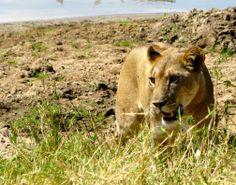 @Tanzanie Lion, Photos, Animals, Tanzania, Animales, Pictures, Animaux, Leo, Lions