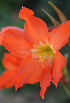~~Orange Lily by amataiclaudius~~