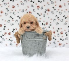 🐾❤️🥰 Cute, cute, #Cute describes these super adorable #Maltipoo puppies. Their beautiful, #Fluffy coats are perfect for all the puppy snuggles! They love to tag along where you go. #LancasterPuppies www.LancasterPuppies.com Maltipoo Puppies For Sale, Chihuahua Puppies, Cute Dogs And Puppies, Teacup Maltipoo, Puppy Quotes, Really Cute Dogs, Lancaster Puppies, Cute Little Animals, Snuggles