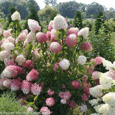 Proven Winners Zinfin Doll Hardy Hydrangea (Paniculata) Live Shrub, Pink and White Flowers, 1 Gal. Garden Shrubs, Shade Garden, Garden Plants, Azaleas Landscaping, Hydrangea Paniculata, Hydrangea Care, Hydrangeas, Hydrangea Seeds, Pink Hydrangea