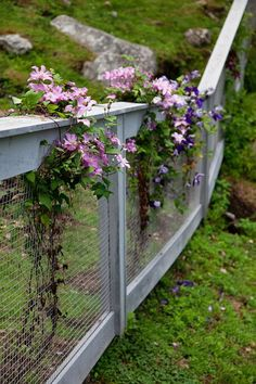 clematis & fence