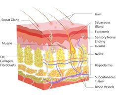 The Skin, Dermis - 15 Minute Beauty Fanatic Blood Vessels, Skin Anatomy, Human Anatomy, Rosacea Remedies, Sensory Nerves, Tricyclic Antidepressant, Subcutaneous Tissue, Biology