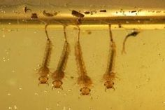 The most-effective way to control mosquito larvae is to disrupt their breeding environment. You can also use oil, enzyme-based cleaners or mosquito dunks. Mosquito Larvae, Mosquito Repelling Plants, Mosquito Control, Pest Control, Water Plants, Cool Plants, Plant Texture, Spring Plants, Vegetable Garden
