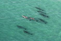 Dolphins cruising Shell Island in Panama City Beach, FL.  Photos by Panhandle Helicopter.