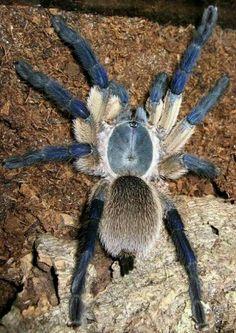 Monocentropus Balfouri -- Socotra Island Blue Baboon Tarantula (Wanted List)