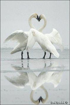 ♥♥♥ ils forment un coeur comme pour nous rappeler que l'amour est unique ♥♥♥