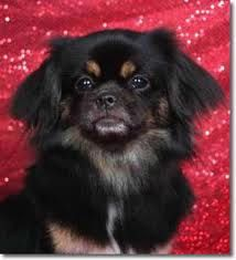 Tibetan Spaniel, looks like Cooper!