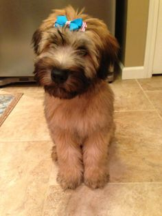 Soft Coated Wheaten Terrier ...this is Olive at 14 weeks! #scwt #puppy