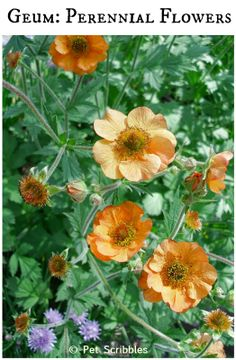 1000 images about geum avens on pinterest perennials for Easy to care for perennial flowers