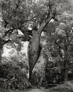 Ancient Trees: Portraits of Time by photographer Beth Moon The Lovers. Baobab, Morondava, Madagascar, Possibly 800 years old. Local legend tells of a love story with an unfortunate beginning that finally resolves itself with this embracing pair, boun Le Baobab, Baobab Tree, Tree Woman, Old Trees, Tree Photography, Nature Tree, Tree Forest, Jolie Photo, Tree Of Life