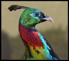 nepal peacocks - Google Search