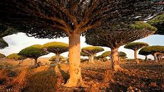 i would do nearly anything to visit socotra, yemen. roughly 40 percent of the plant and animal species found in socotra are endemic (found only in this location). these dragon's blood trees are one of those endemic species. Socotra, Amazing Places On Earth, Beautiful Places In The World, The Places Youll Go, Places To See, Dragon Blood Tree, Dragon Tree, Bali Resort, Strange Places