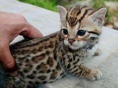 ベンガル:生まれつきヒョウ柄の猫ちゃんだって。可愛すぎるーーー♡♡♡