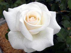 Hybrid tea rose Crystalline