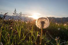 Sonnenaufgang beim Sattelbauer Salzburg, Dandelion, Flowers, Plants, Sunrise, Tourism, Friends, Summer