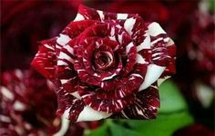 Want to make a rose that looks like this