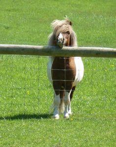 Henhope Miniature Shetland Pony Stud