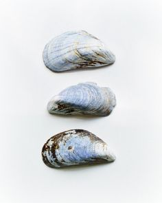 Shell Photography Nautical Still Life Blue Grey Brown 3 Minimalist Simple Beach House Decor 8x10 Print Mussel Shells. (25.00 USD) by VictoriaEnglishCharm
