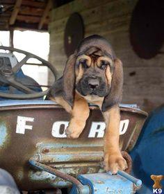 Blood hound puppy