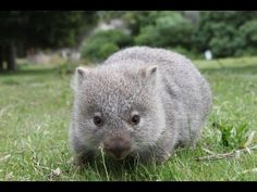 Cuddly Baby Wombat Compilation 2016 - YouTube