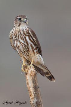 Merlin by Ari Hazeghi - Photo 104890095 / Raptors, Merlin Bird, Bird Taxidermy, Bird Wings, Backyard Birds, Birds Of Prey, Wild Birds, Predator, Beautiful Birds