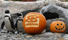 Mystic Aquarium's African penguins get in on the Fall-O-Ween fun.