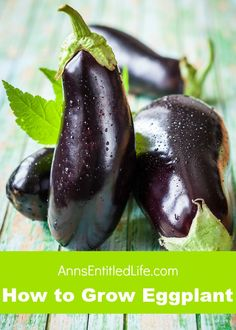 Eggplant comes in many different varieties and colors. Some of them even bear fruit. No matter what type of eggplant you choose to grow, there are several things that you should consider before making a decision on what type you should plant. Eggplant Plant, Growing Eggplant, Eggplant Seeds, Herb Seeds, Garden Seeds, Gardening For Beginners, Gardening Tips, Organic Gardening, Vegetable Gardening