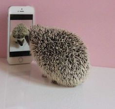"Hedgehog: ""Hello!  My name is: 'Prickles' and I do like taking a selfie!"""