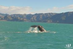 Whale watching in Kaikoura - foodandphotosrtw.com