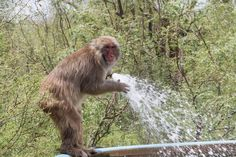 With temperatures over 102 every day for the last two weeks we've all been busy trying to stay somewhat cool in the brutal heat of south Texas. The monkeys have gotten pretty good at it! http://on.fb.me/1MGVGi0