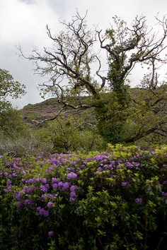 Rhododendron up the Mountain - Ring of Kerry, Ireland Ireland Travel, Mountain, River, Spaces, Explore, Plants, Outdoor, Outdoors, Ireland Destinations