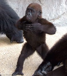 Apple of her 28-stone dads eye Alice the tiny gorilla baby is photographed here